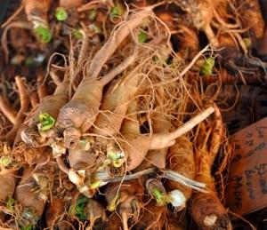 Brazilian Ginseng Suma Root Natural Stress Reducer