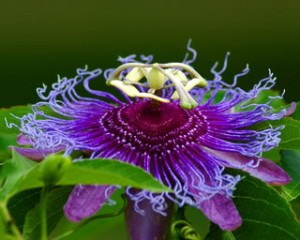 Passion Flower Natural Stress Reducer