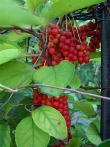 Schisandra Berry Natural Stress Reducer